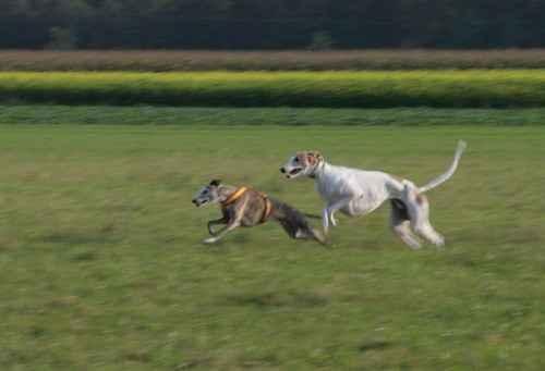 Whippet und Greyhound beim Fangen-Spielen