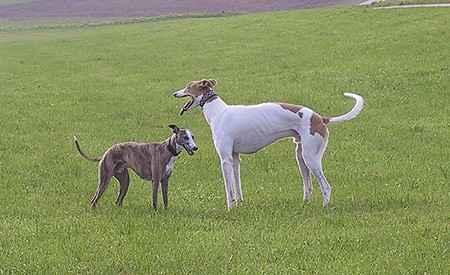 Windhund Größenvergleich: Whippet - Greyhound