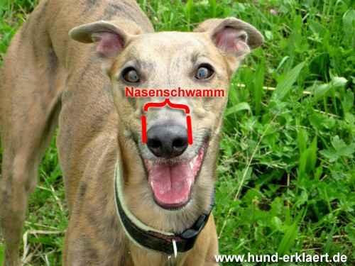 Nasenschwamm oder: wie breit soll ein Halsband sein? Ideale Breite Halsband Hund